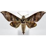 Ambulyx canescens canescens