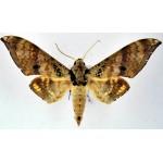 Ambulyx flava