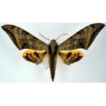 Ambulyx immaculata