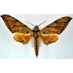 Ambulyx johnsoni
