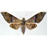 Ambulyx flava fem
