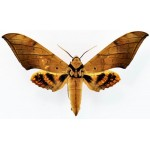 Ambulyx pryeri