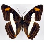 Adelpha phylaca