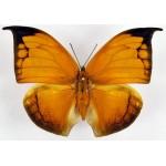 Anaea archidona