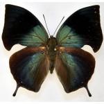 Anaea philumena