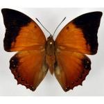 Charaxes harmodius martinus