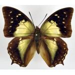 Charaxes nitebis ssp.luscius
