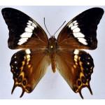 Charaxes ocellatus ocellatus male RARE
