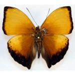 Cymothoe lurida