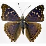 Doxocopa agathina