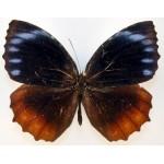 Elymnias hypermnestra undularis