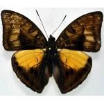 Euthalia nara nara