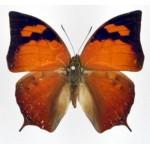 Anaea tehuana