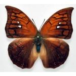 Anaea tyrianthina (F)