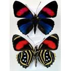 Бабочки callicore