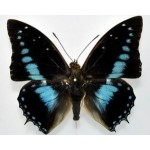 Charaxes imperialis