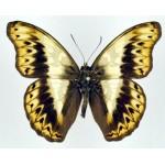Cymothoe herminia