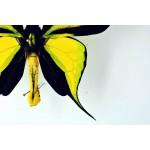 видео бабочек птицекрылок
