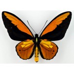 Ornithoptera croesus lydius  Halmahera – Indonesia