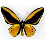 Ornithoptera croesus lydius (Halmahera) X Ornithoptera priamus poseidon (Salawati)