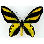 Ornithoptera tithonus makikoae Timika, Irian - Indonesia