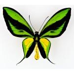Ornithoptera paradisea flavescens Timika, Irian – Indonesia