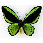 Ornithoptera priamus priamus Ceram – Indonesia
