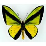 Ornithoptera goliath samson Arfak, Irian – Indonesia
