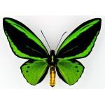 Ornithoptera priamus poseidon Irian – Indonesia