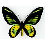 Ornithoptera rothschildi Arfak, Irian – Indonesia