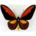 Ornithoptera croesus lydius.Dark color,without points