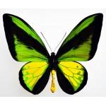 Ornithoptera goliath procus /  Ceram – Indonesia