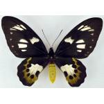Ornithoptera meridionalis tarunggarensis fem