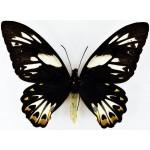 Ornithoptera priamus hecuba fem