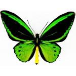 Ornithoptera priamus hecuba male