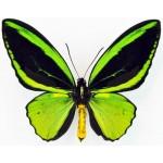 Ornithoptera priamus ssp