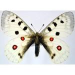 Parnassius apollo merzbacheri male