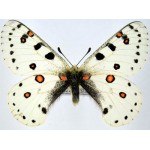 Parnassius apollonius gloriosus male A-