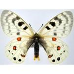 Parnassius delphius maximinus fem