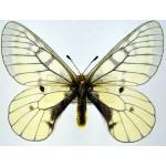 Parnassius eversmanni felderi male
