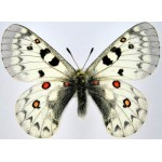 Parnassius jacquemontii himalayensis male