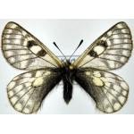 Parnassius simo boedromius hohlbecki male