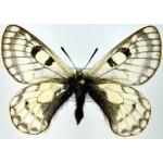 Parnassius simo boedromius male