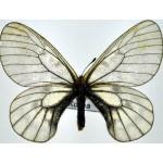 Parnassius stubbendorfii korena fem A-