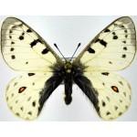 Parnassius tenedius britae male