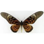 Бабочки парусники