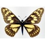 Baronia  brevicornis  brevicornis