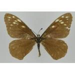 Baronia  brevicornis rosita A2