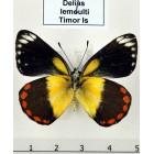 Бабочки-белянки рода Delias