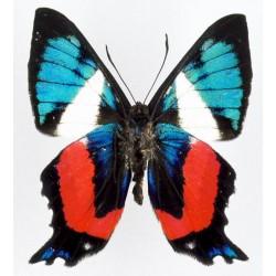 Ancyluris formosissima (3)